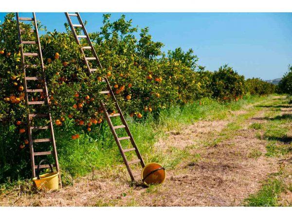 Fotomural Vinilo Campo de Naranjos | Carteles XXL - Impresión carteleria publicitaria