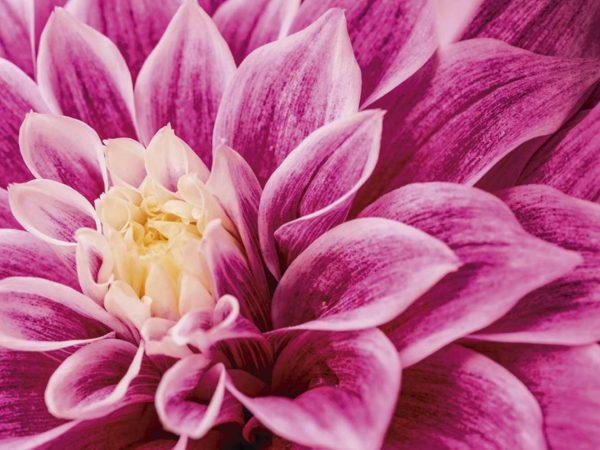 Fotomural Vinilo Floral Dalia Púrpura | Carteles XXL - Impresión carteleria publicitaria