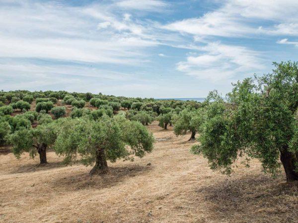 Vinilo Frigorífico Mar de Olivos | Carteles XXL - Impresión carteleria publicitaria